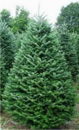 Fraser Fir Christmas Trees in Denver, CO