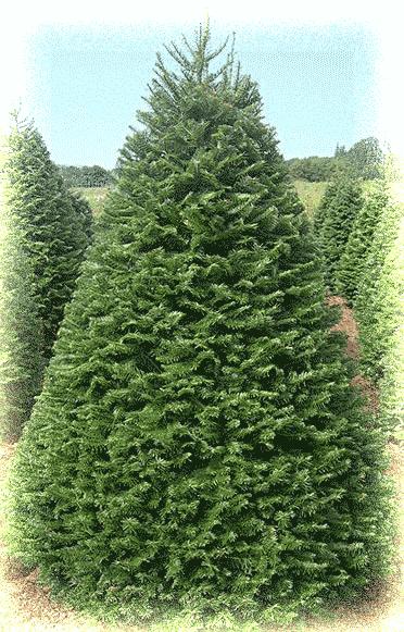 grand-fir-tree