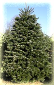 nordmann-fir-tree