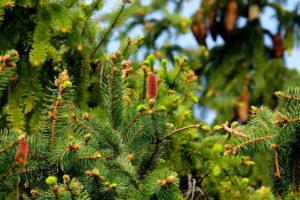 christmas-trees-denver